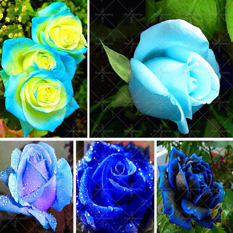 100pcs/bag Rare Blue Rose seed Flowers Seeds Lover blue Home Garden plants rose