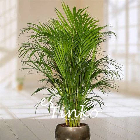 30pcs Bamboo Palm Lady Palm Indoor Plants Rhapis Excelsa DIY Home Garden Tree Ai - JKK Mart