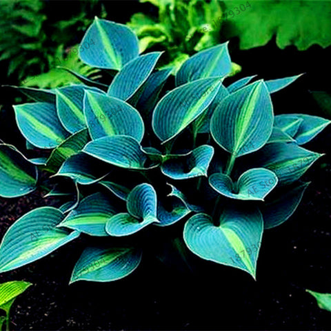 200pcs/bag Hosta Seeds Perennials Plantain rare  Lily Flower White Lace Home pot
