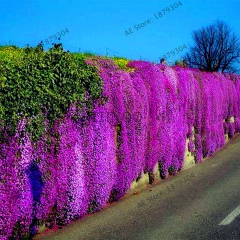 200pcs ROCK CRESS Perennia Flower seeds Creeping Thyme Ground cover garden decor