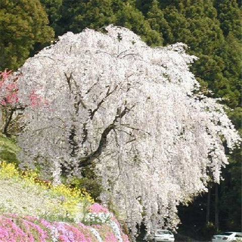 White fountain weeping cherry tree seed Home Garden Dwarf Tree Beautiful and ele