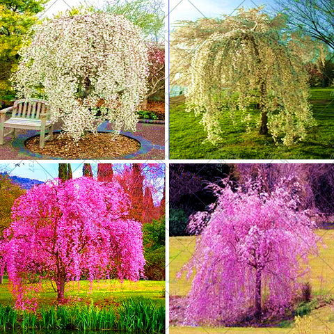 20pcs / bag Fountain Weeping cherry tree family garden Shrub Cherry tree seeds g