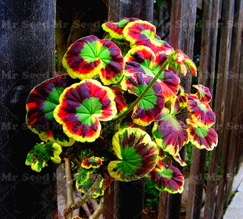 100Pcs/Bag Rare Geranium bonsai seeds Variegated Geranium potted winter garden f
