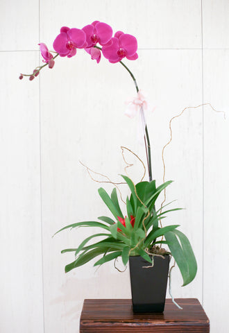 Chinese New Year Flowers Phalaenopsis Orchids in Stylish Black Pot 蘭花 開張花籃 新年花 禮物 蝴蝶蘭