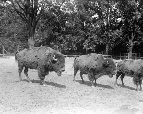 Bison Buffalo Standing In Field 8x10 Reprint Of Old Photo