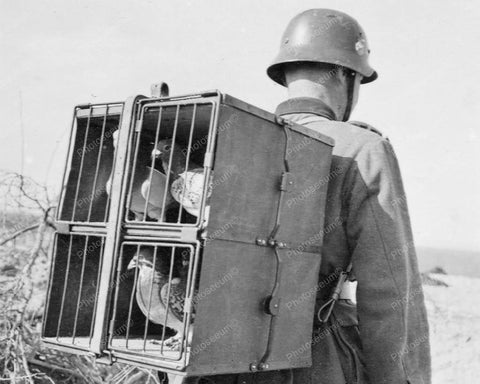 Military Carrier Pigeons Racing Homer 8x10 Reprint Of Old Photo