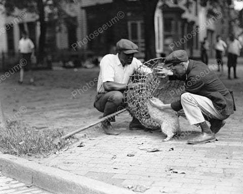 Dog Catchers Putting Dog Into Net! 8x10 Reprint Of Old Photo