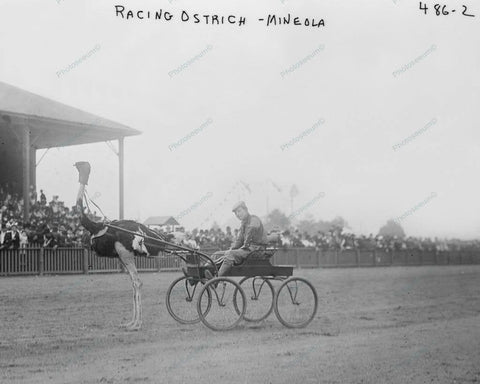 Ostrich & Driver Ready To Race Vintage 8x10 Reprint Of Old Photo