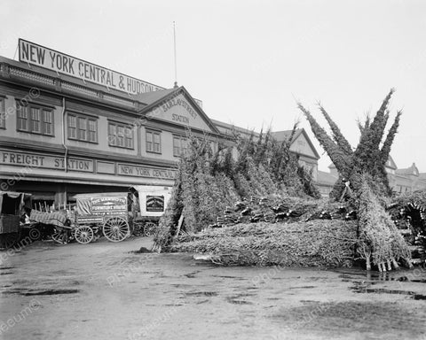 Christmas Tree Sales NY 1903 Vintage 8x10 Reprint Of Old Photo - Photoseeum
