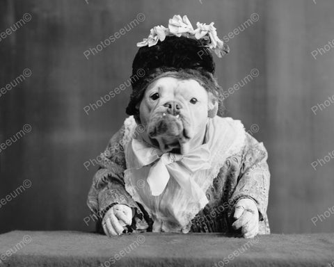 Bulldog Dressed As Lady 1905 Vintage 8x10 Reprint Of Old Photo - Photoseeum