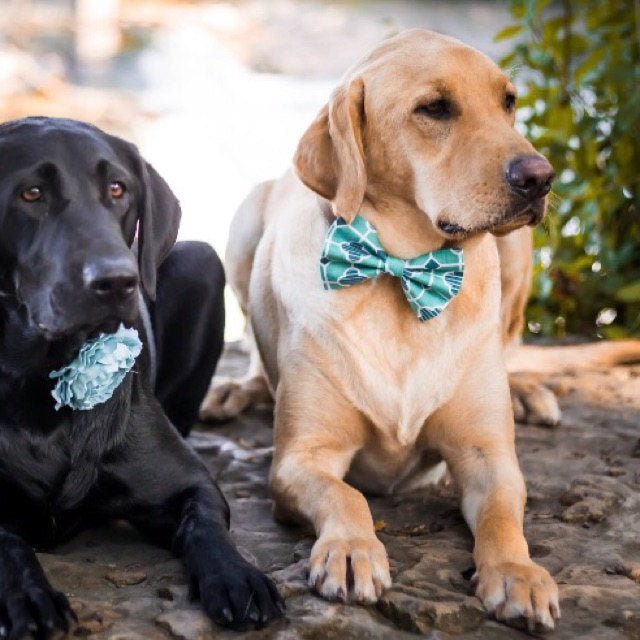 Two Labradors, one in a dotted Dog Bow Tie Collar and one in a teal Dog Collar Flower
