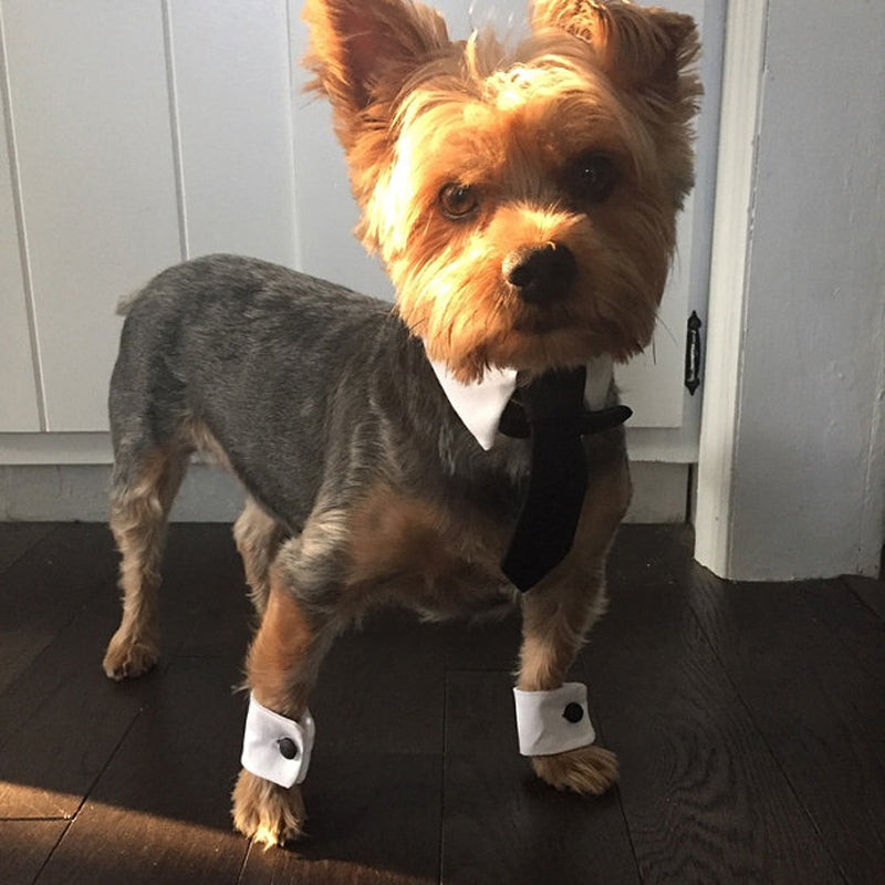 Yorkie dog standing on a wood floor wearing a dog necktie collar and matching paw cuffs