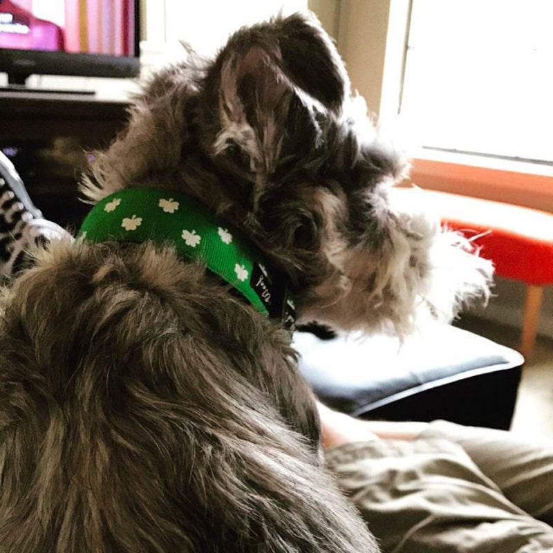 A gray Terrier sitting by sunlit window wearing a Luck of the Irish Dog Collar