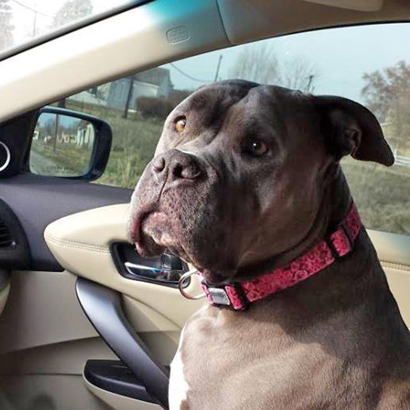 Gray Pit Bull Terrier sitting in a passenger seat of a car wearing a Pink Roses Dog Collar