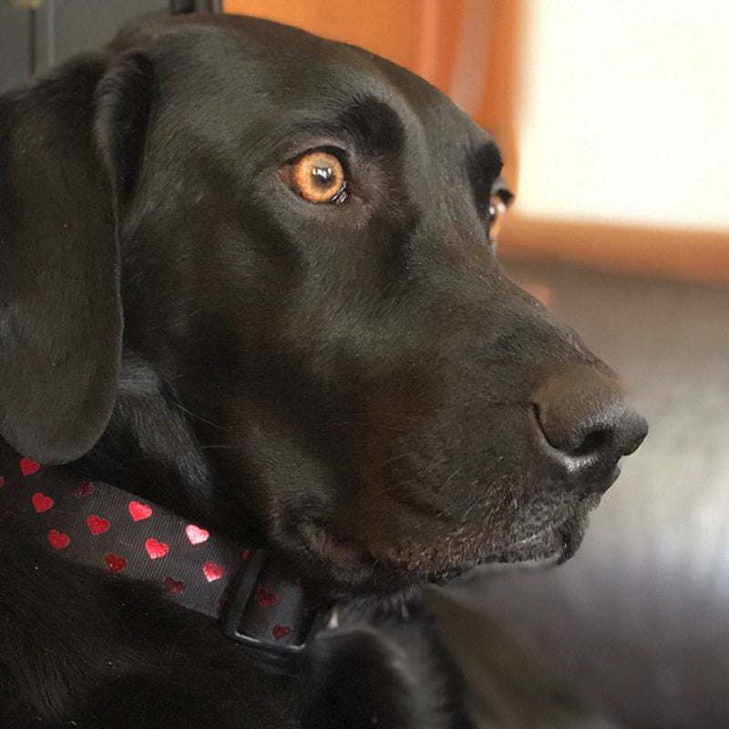 Black lab sitting on a black leather sofa wearing a Secret Valentine Dog Collar
