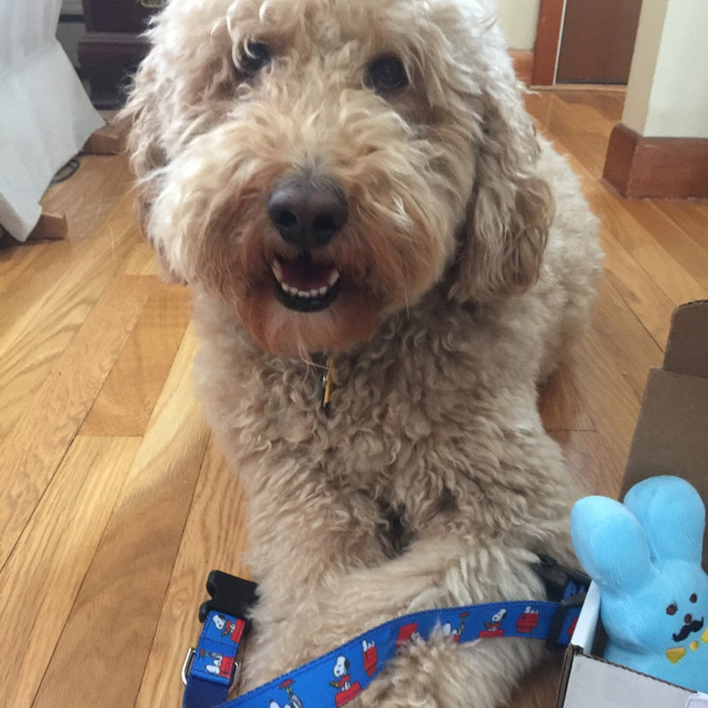 Adorable Labradoodle holding his Snoopy's Dog House Dog Collar between his paws