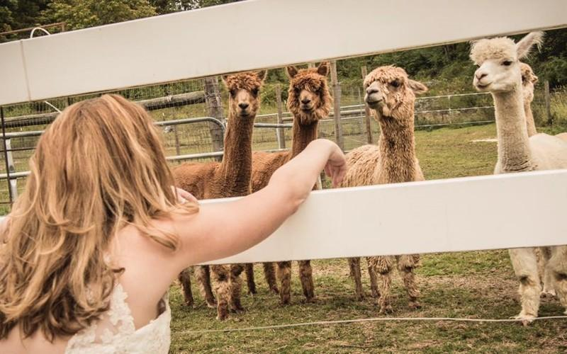 Hang Out With Alpacas At This Charming Country Farm In Massachusetts