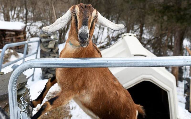 Lincoln The Goat Is The First Pet Mayor Of Fair Haven, Vermont