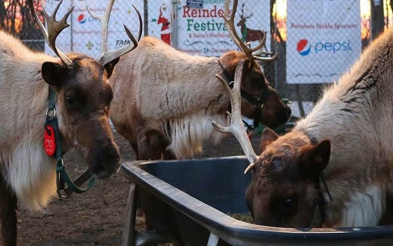 Head To Connecticut For The Greenwich Reindeer Festival