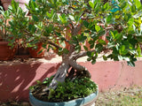 Bonsai Ficus 10 Year Old - treekart