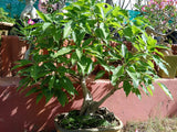 Bonsai Peepal Tree Variety 10 Year Old - treekart