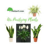 Air Purifying Plants (Combo)