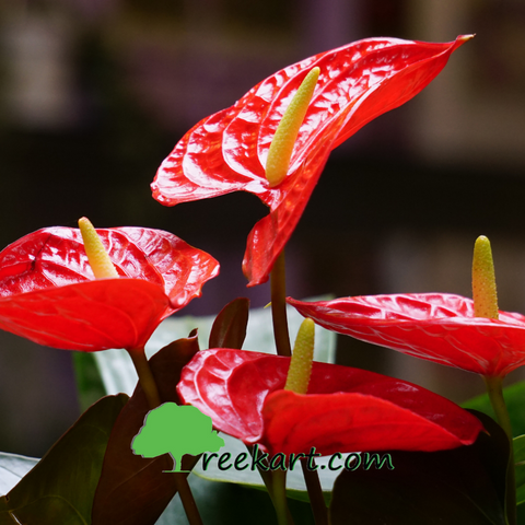 Anthurium Red (Flamingo Lily)