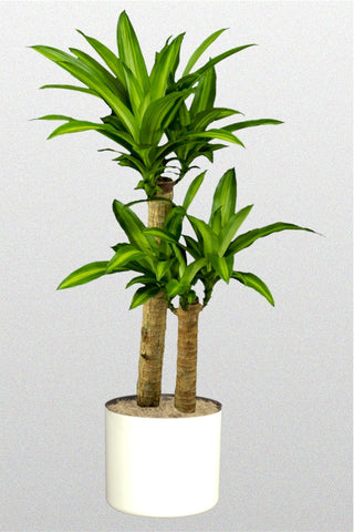 dracaena fragrans best air purifying plant online. Black Bedroom Furniture Sets. Home Design Ideas