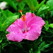 Hibiscus-New-Light-Pink - treekart