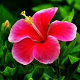 Hibiscus-New-Red-White - treekart