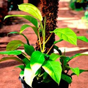 Golden-Emerald-Philodendron - treekart