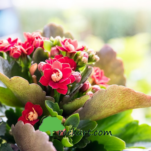 #Kalanchoe #flowerringplants #plantsonline #beautifulindoorplants