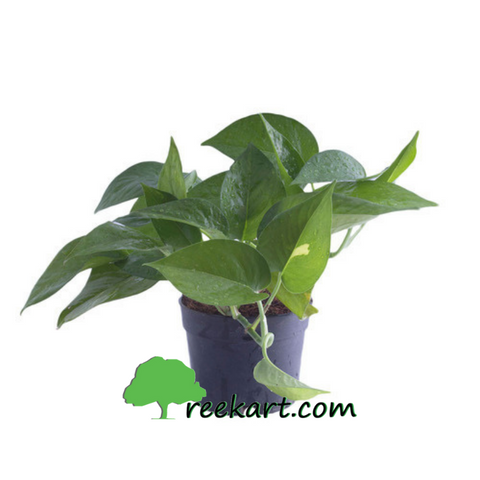 Money Plant | Pothos (Green)