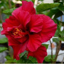 hibiscus-red-double - treekart