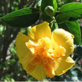 hibiscus-yellow-double - treekart