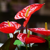 Exotic Flower Plants (Combo)