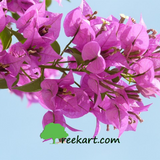 Bougainvillea - Light Pink