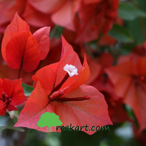 Bougainvillea - Red Shade