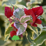 bougainvillea - variegated