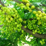 fruitplants-amla-small - treekart