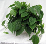 Heartleaf Philodendron - treekart