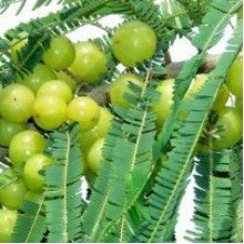 medicinal-plants-amla-big