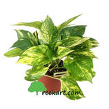 #photosgolden #moneyplantvariegated #moneyplant #indoorplants