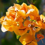 bougainvillea - yellow - treekart