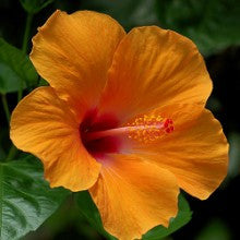 hibiscus-orange - treekart