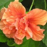hibiscus-orange-double - treekart