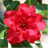 Adenium (red double) - treekart