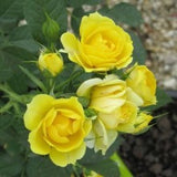 rose-miniature-yellow - treekart
