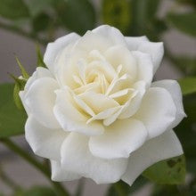rose-white - treekart
