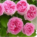 rose-plants-climibing-rose-pink - treekart